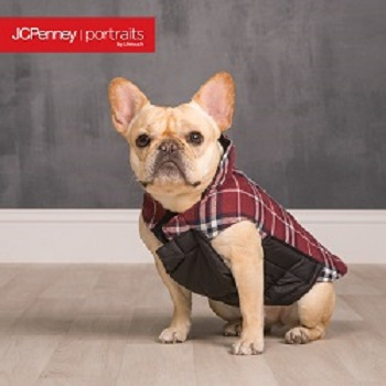 Tan french bull dog with brown, black and white check jacket.