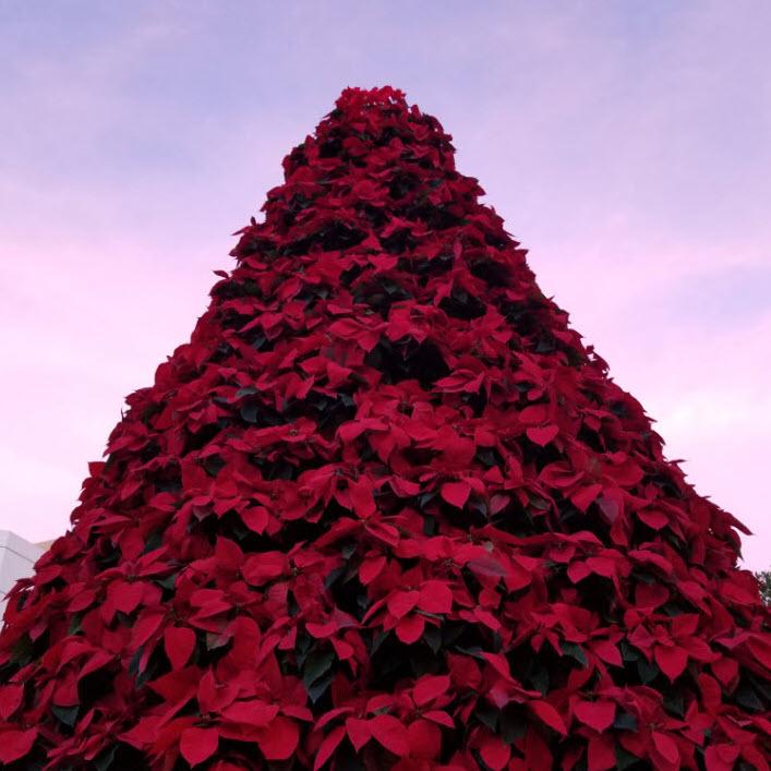 Poinsettia tree at sunset