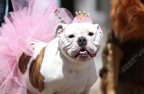 Bull dog in tutu and tiara.