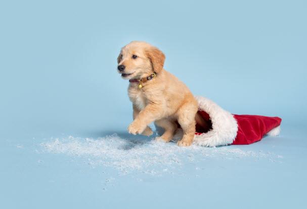 Golden retriever puppy running out of Santa hat