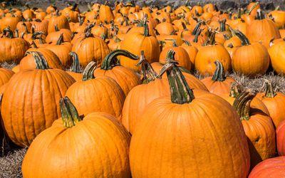 Many pumpkins.