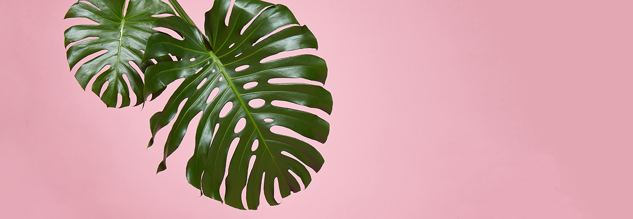 Green tropical leaves on a pink background