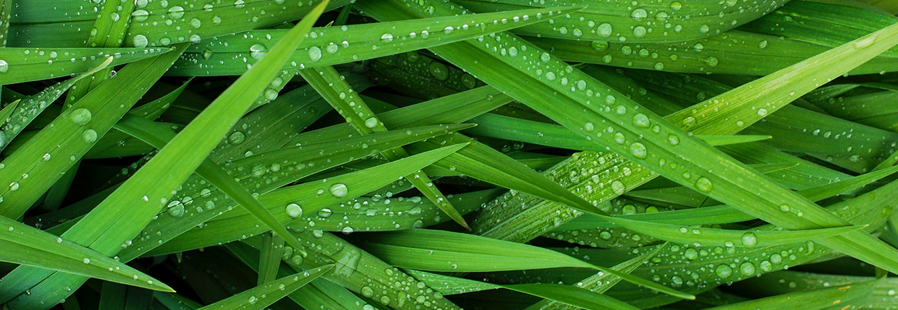 Close-up of blades of grass with water drops on them