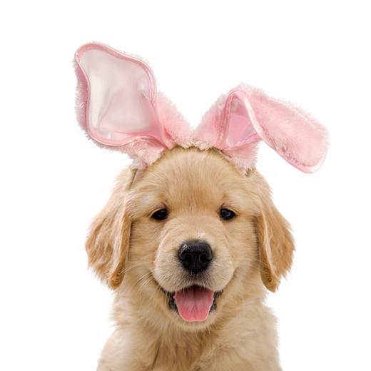Golden retriever puppy wearing bunny ears