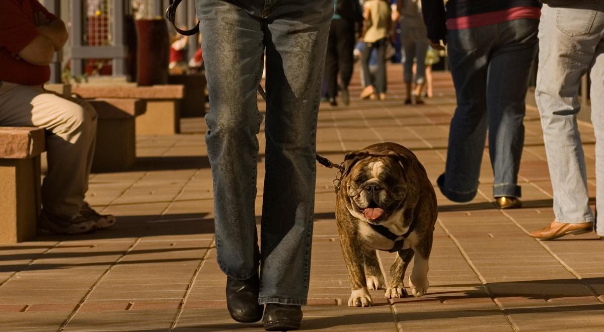 Man walking a large bulldog