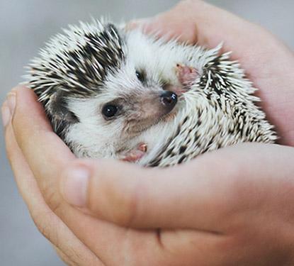 Hands holding a hedgehog